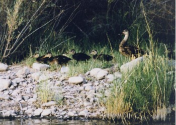 Momma Duck and her brood